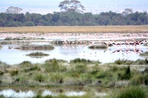 flamingoes_at_amboseli