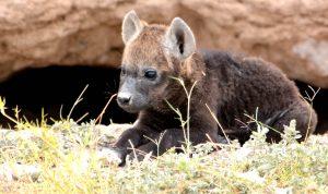 hyena_pup_amboseli