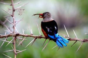 woodlands-kingfisher-eating-a-frog-in-amboseli