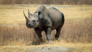 ngorongoro_crater_black_rhino_2081