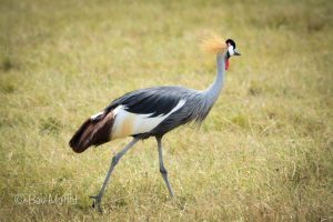 ngorongoro_crater_crowned_crane_1971