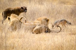 ngorongoro_crater_lion_kill_jackal_and_hyena_2444